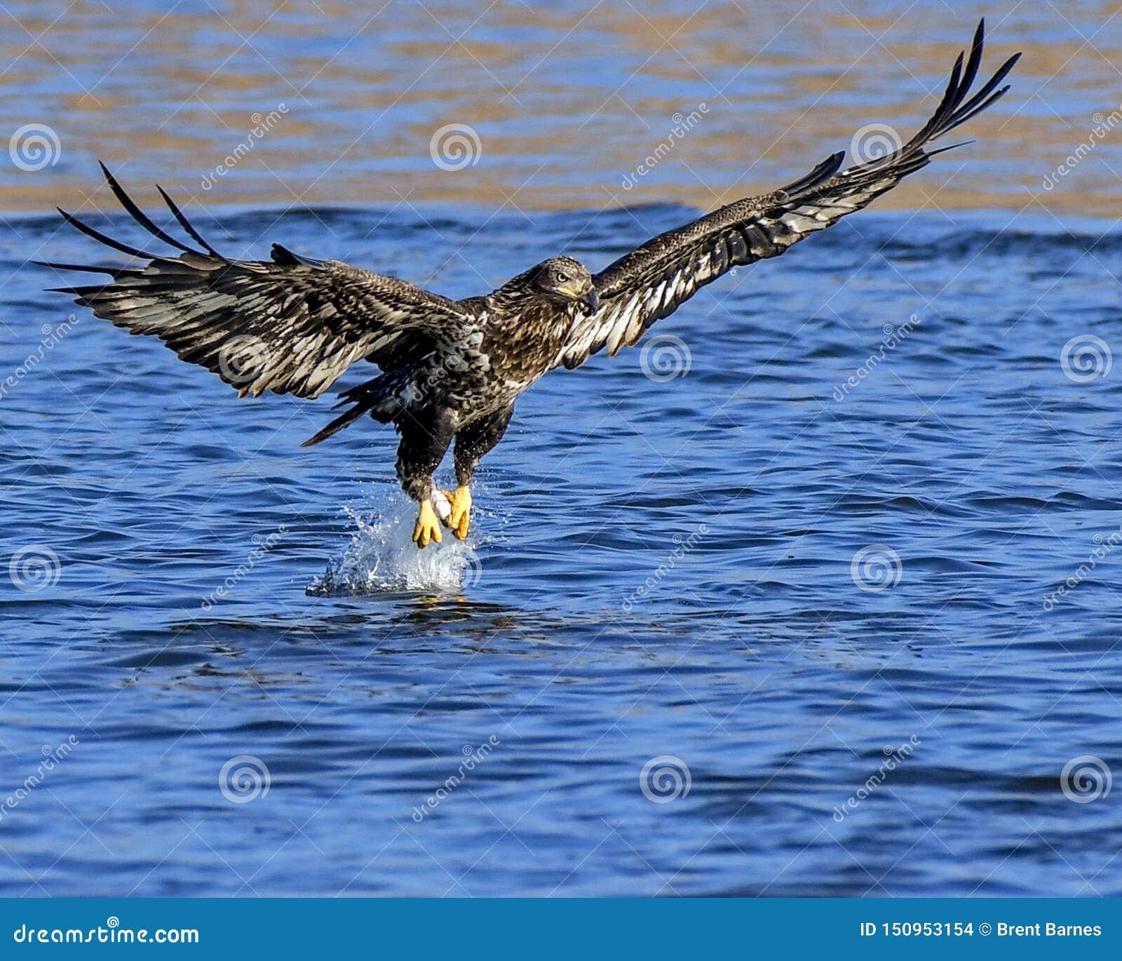 A Juvenile Bald Eagle Captures a Fish