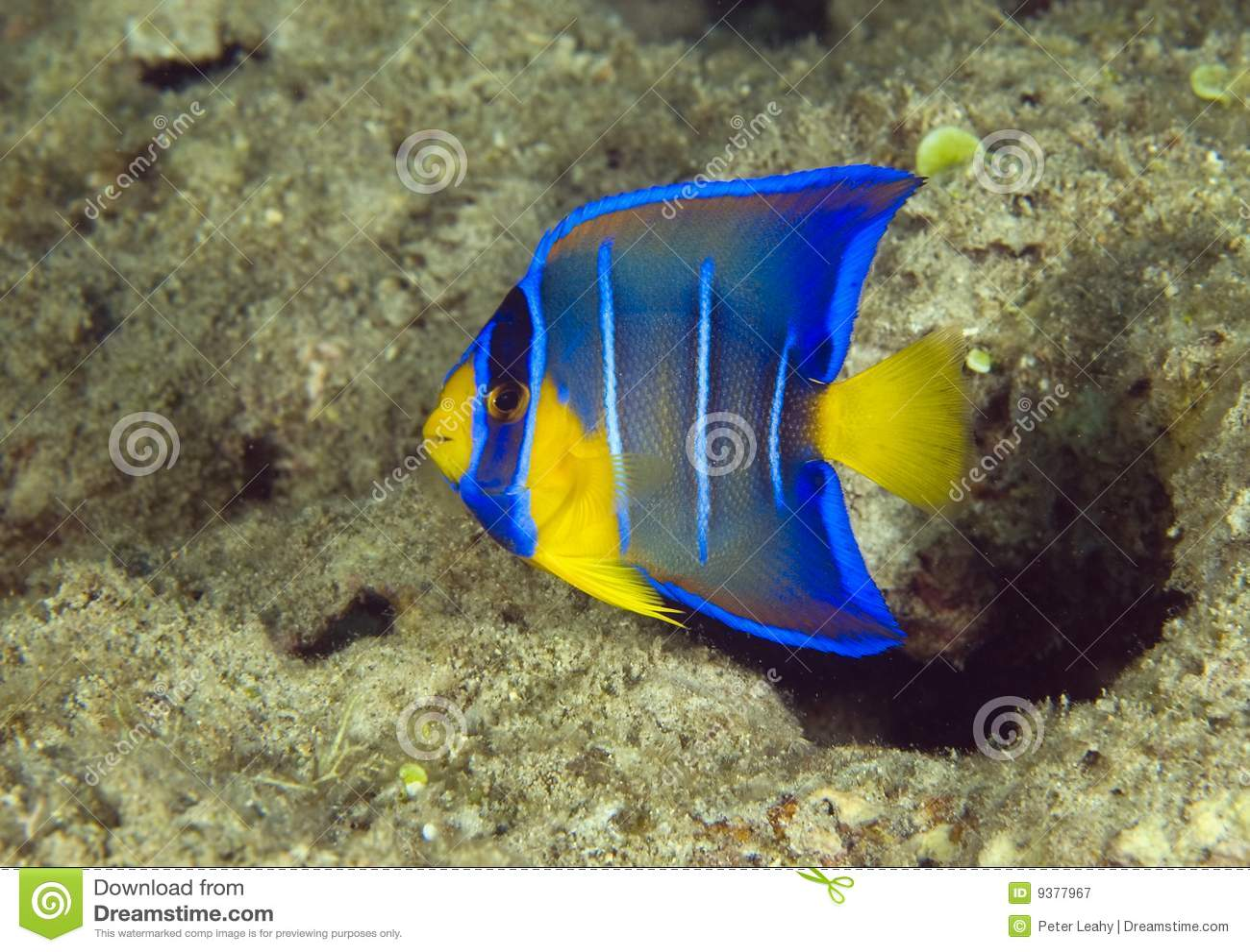 Blue Angelfish Juvenile Juvenile blue angelfish