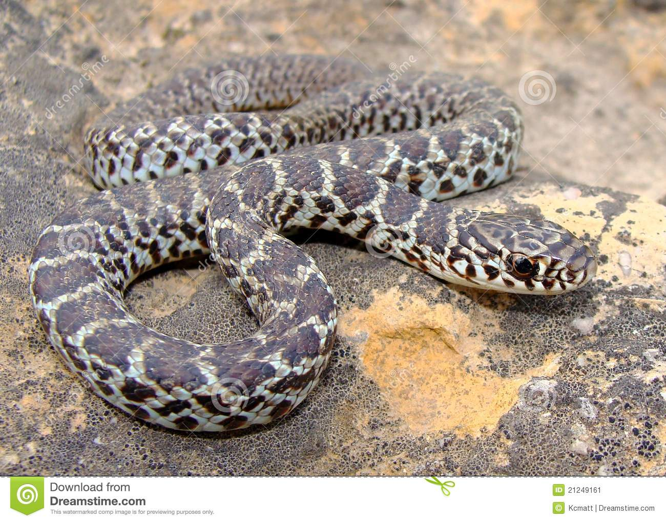 Juvenile Eastern Yellow Bellied Racer Snake Stock Image