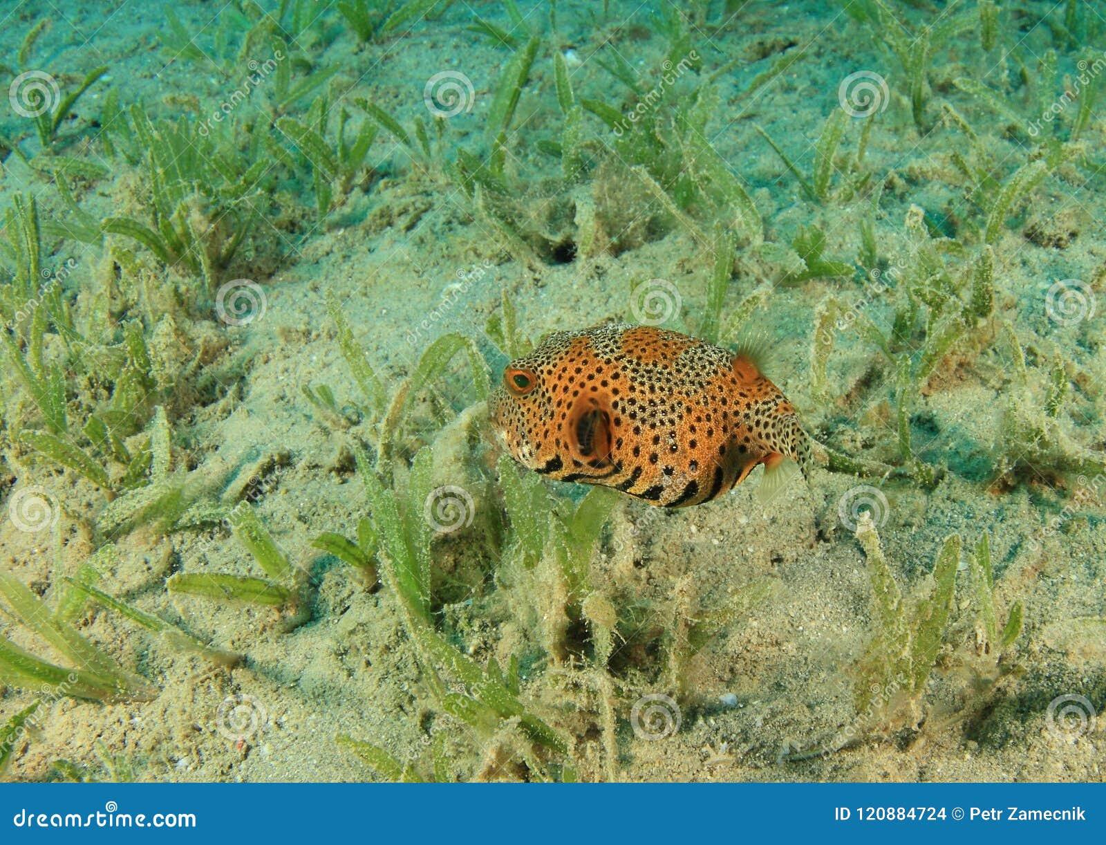 Juvenile fish Giant puffer