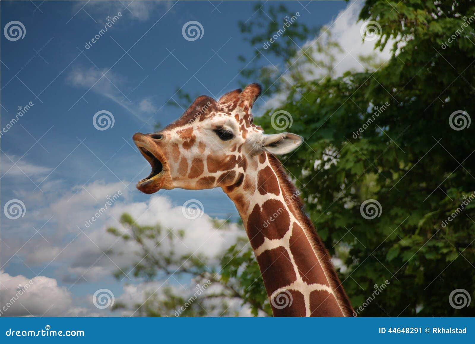 yawning giraffe - photo #7