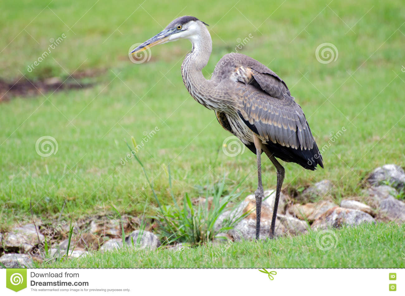 Photographing Juvenile Great Blue Heron >> Juvenile Great Blue Heron Athens Georgia Stock Image Image Of