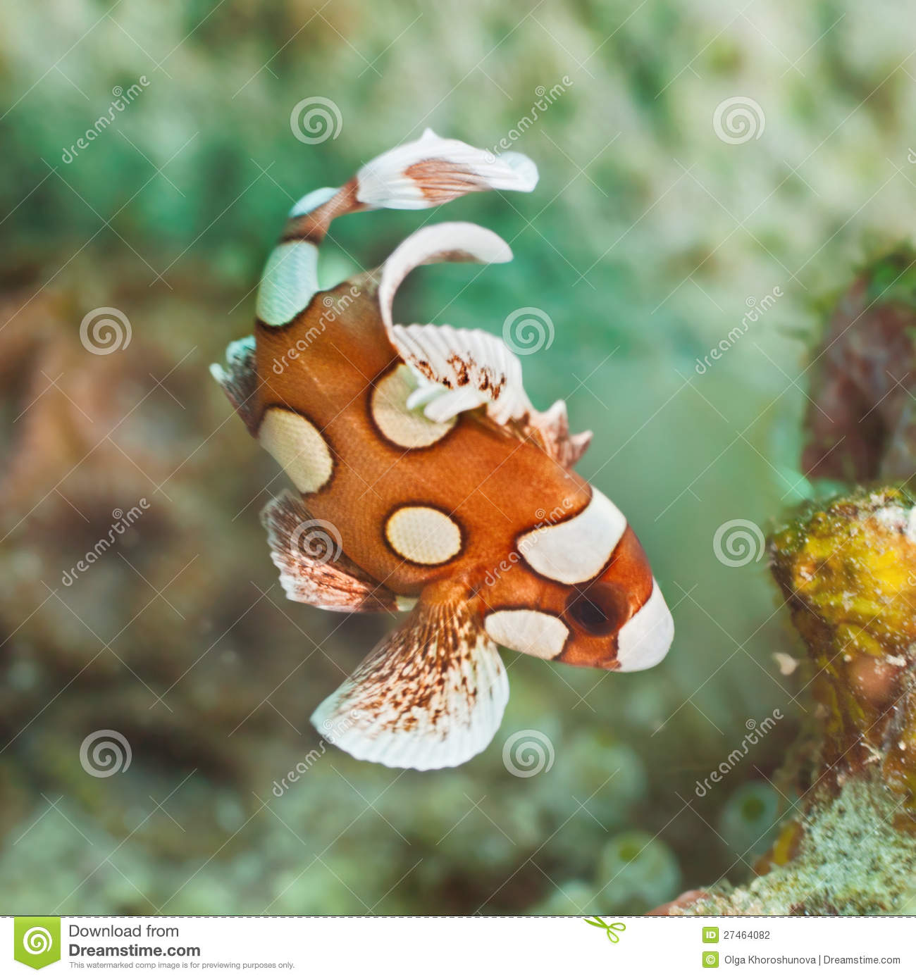 Juvenile harlequin sweetlips stock photography image for Sweet lips fish