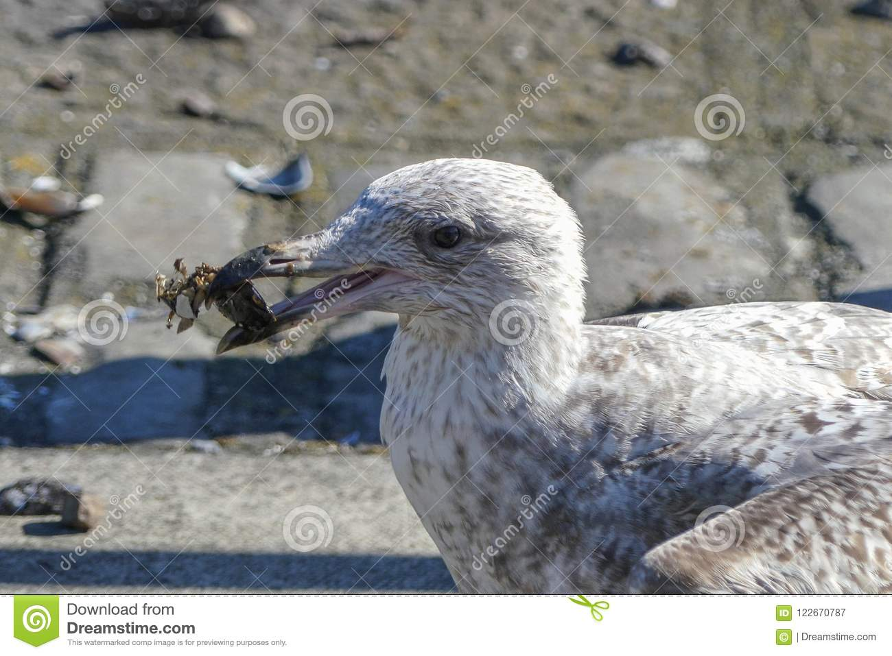 Juvenile Herring Gull / Seagull / Larus argentatus with a mussel in his mouth which he has broken open