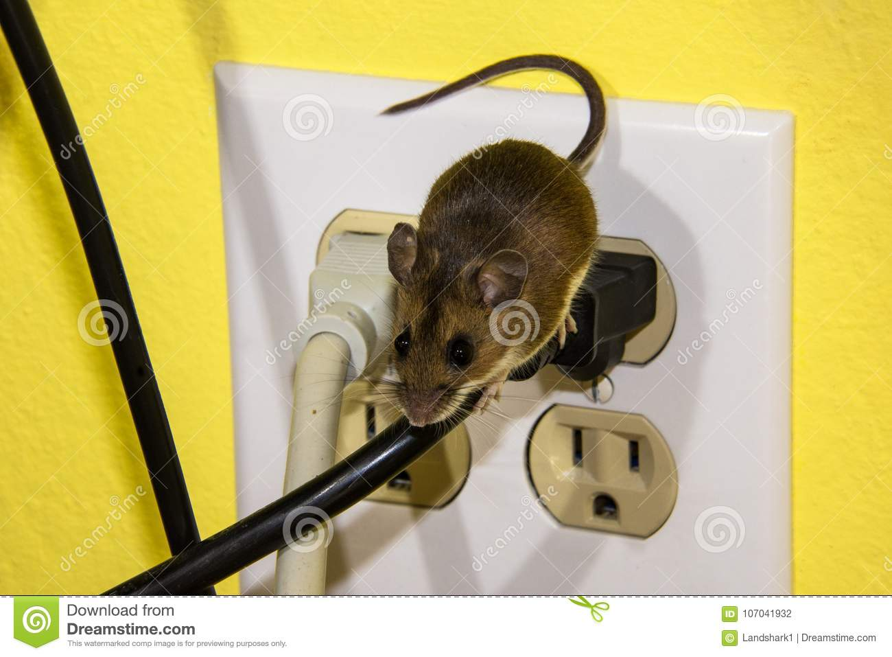 side view of a brown house mouse running down a wire on an rh dreamstime com running electrical wire under house running conduit from house to garage