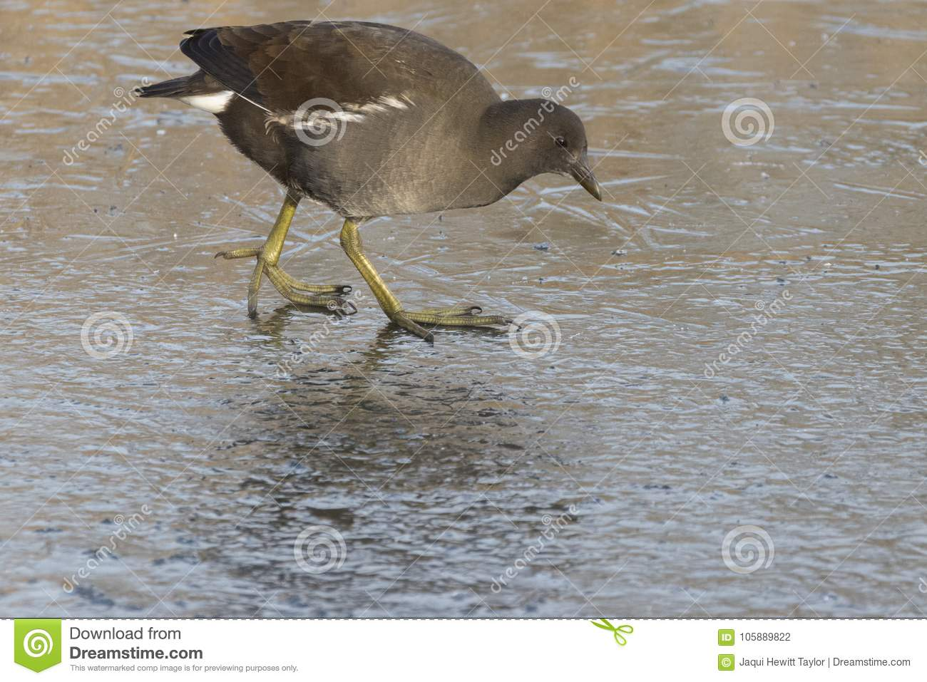 Download A Juvenile Moorhen Walking On Ice Stock Photo - Image of freezing, cold: 105889822