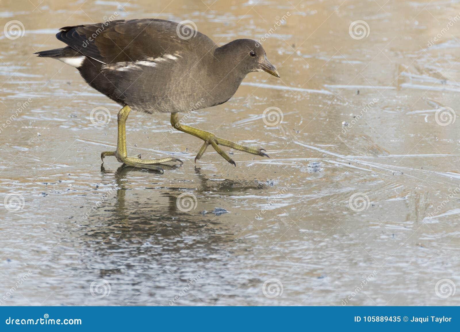 Download A Juvenile Moorhen Walking On Ice Stock Image - Image of moorhen, freezing: 105889435