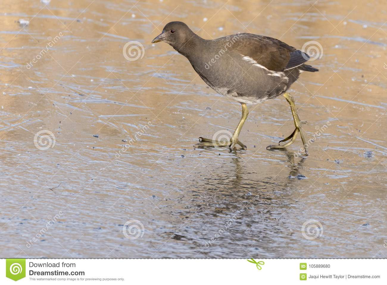 A juvenile moorhen walking on ice