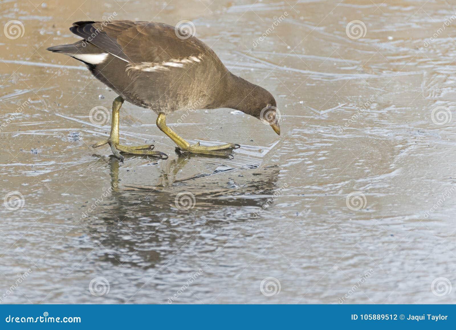 A juvenile moorhen walking on ice