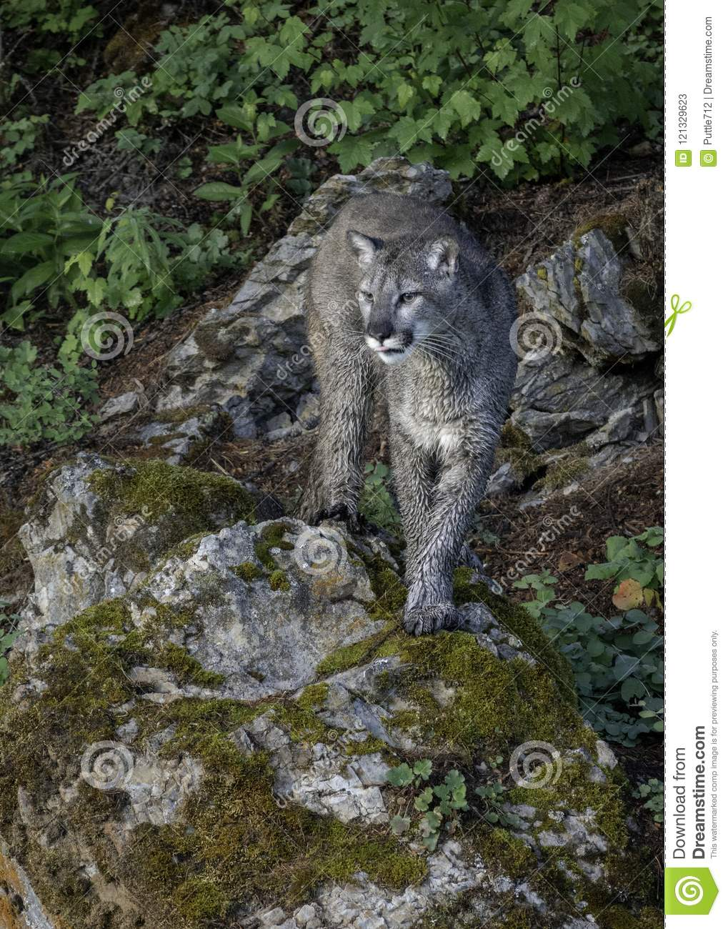 Juvenile Mountain Lion In Forest Stock Image - Image of ...