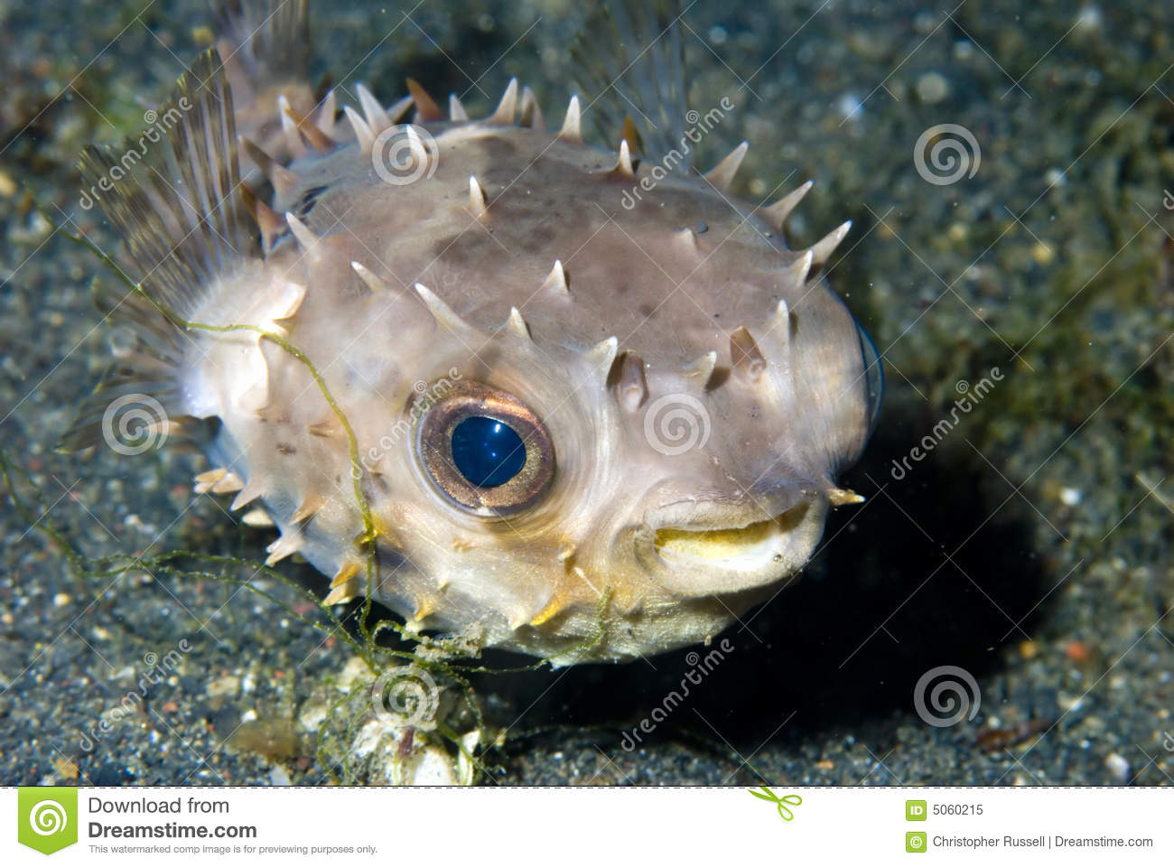 Juvenile puffer fish stock image image of east indonesia for Puffer fish price