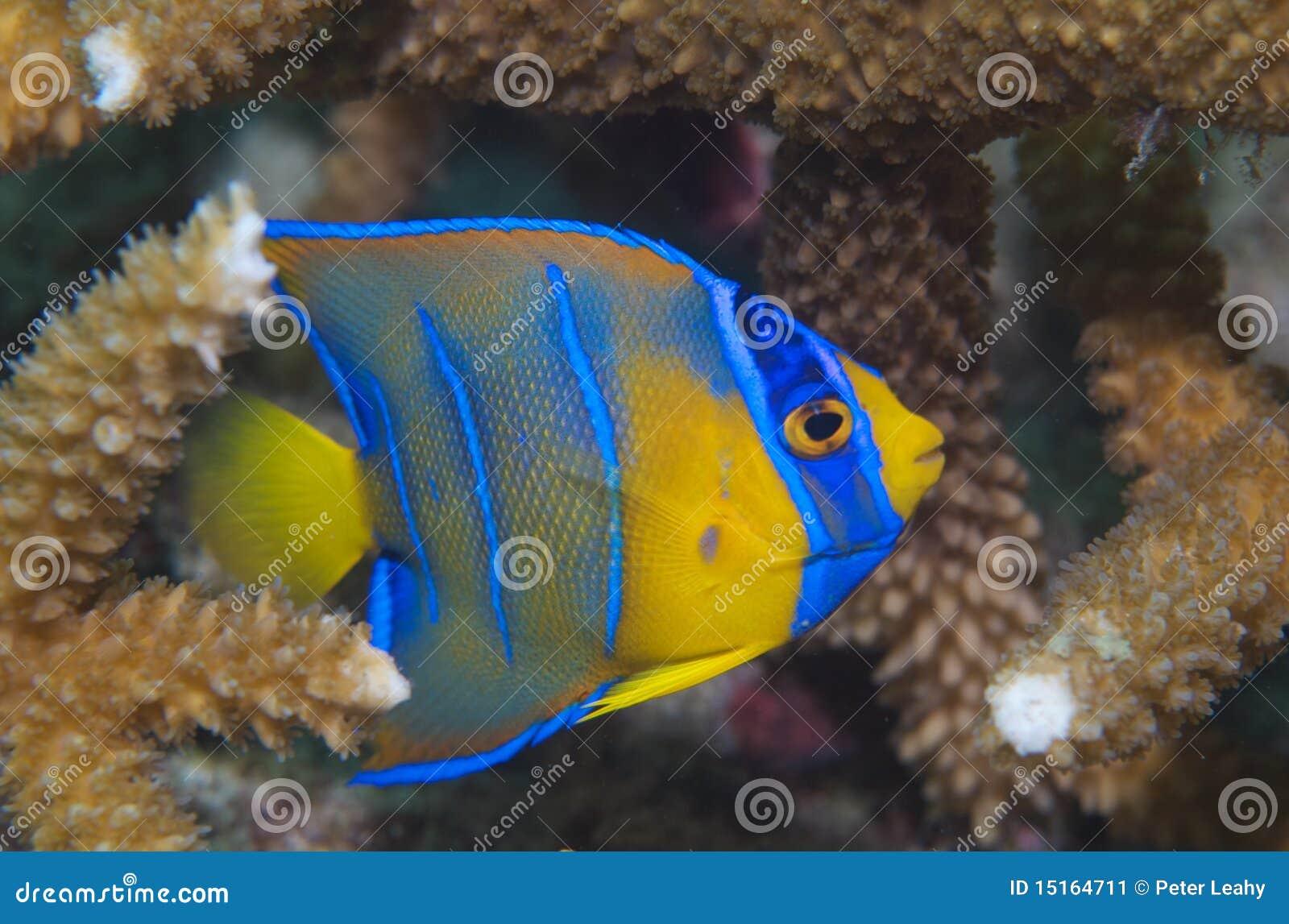 Juvenile queen angelfish holocanthus ciliaris stock image for Queen angel fish
