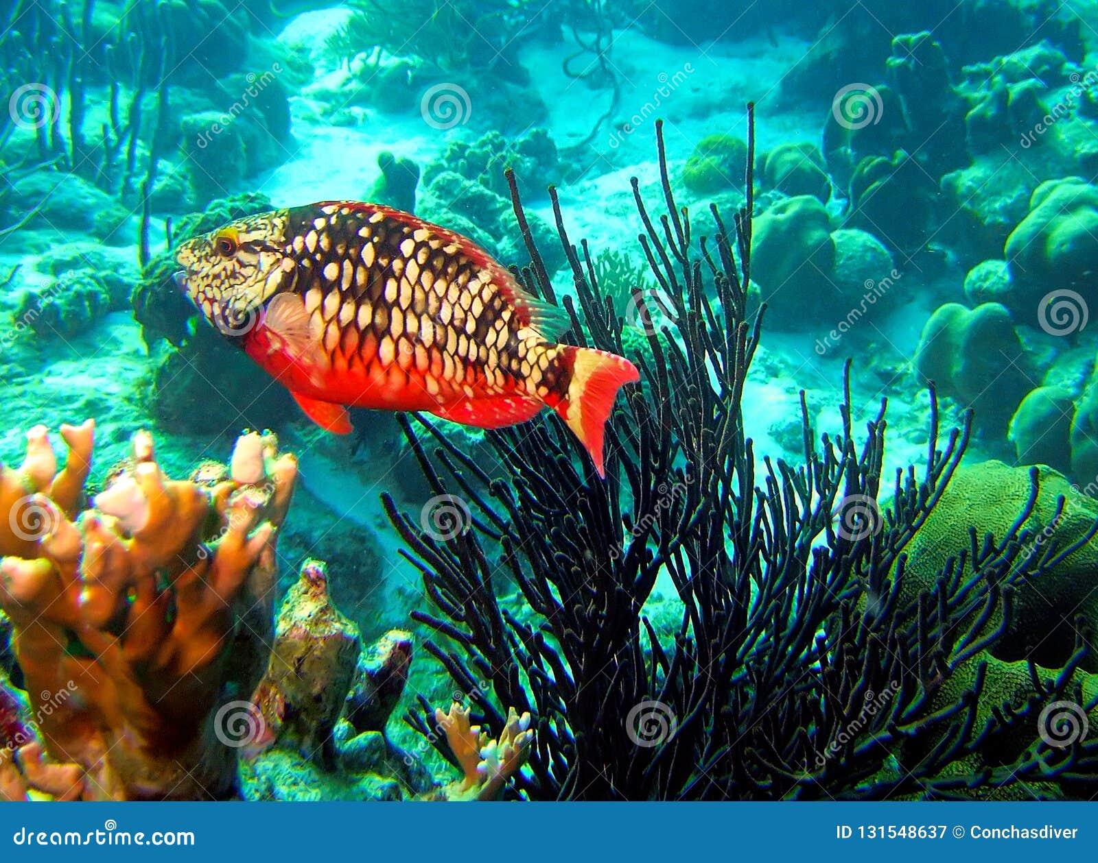 Porthole Stoplight Parrotfish