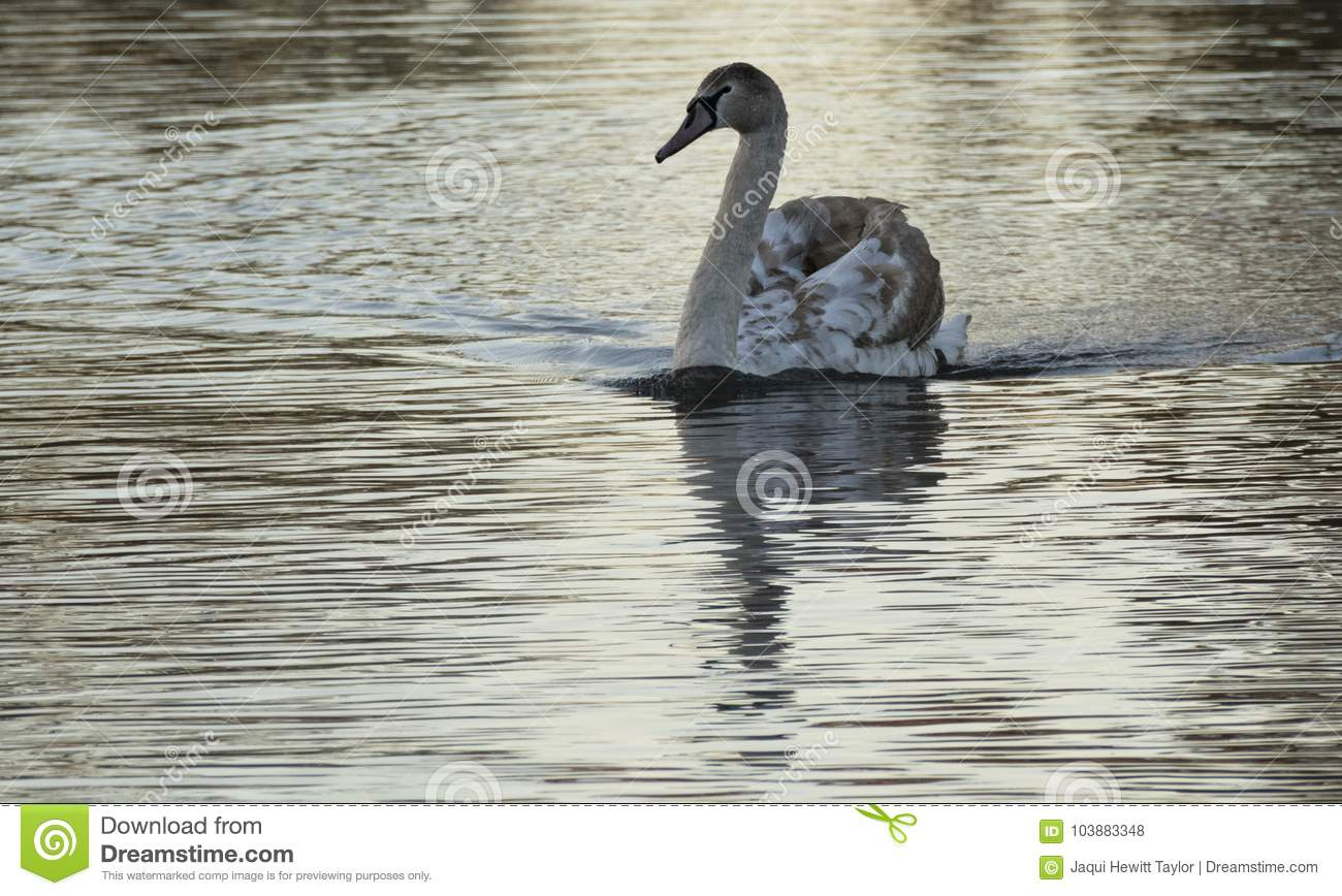 A juvenile swan in the early morning light on the Boating Lake, Southampton Common,