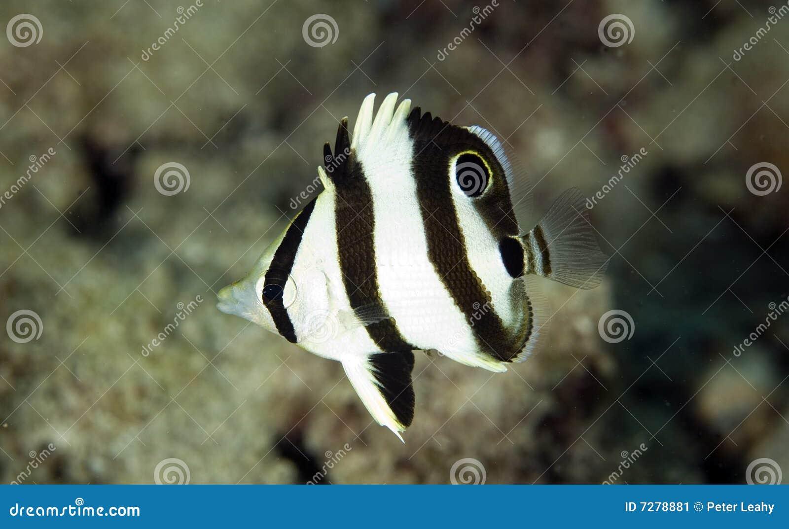 Juvenille congregó Butterflyfish