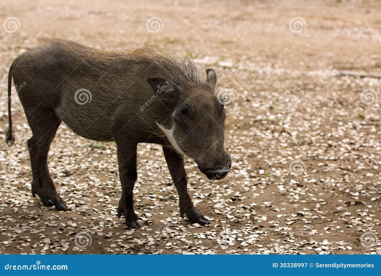 Juvinile warthog母猪