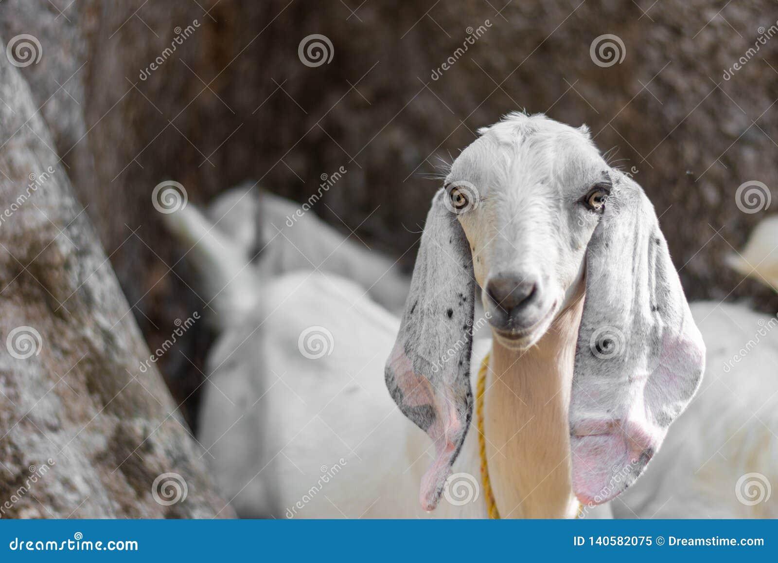 Kózka w indyjskim afrykaninie pasa w kraju z długimi ucho i futerko z odosobnionym tłem w obszarach trawiastych popieramy kogoś