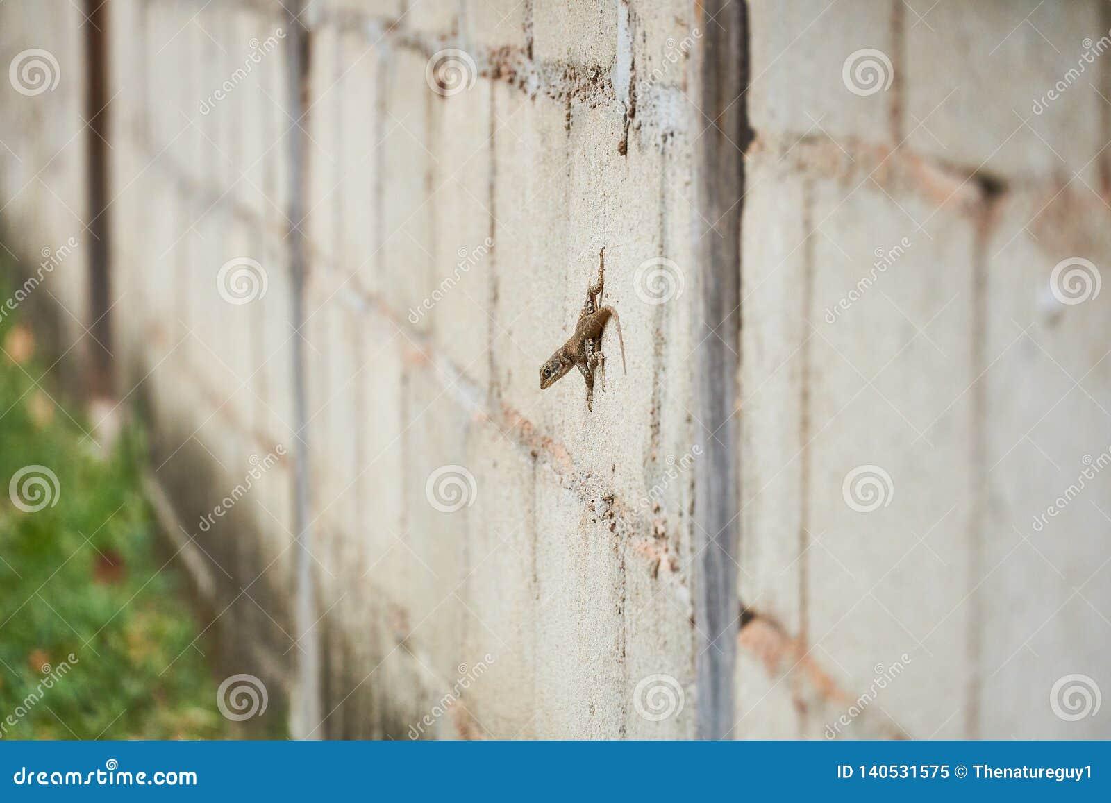 Kędzierzawa Ogoniasta jaszczurka, A bahamian ogoniasta jaszczurka na betonowej ścianie