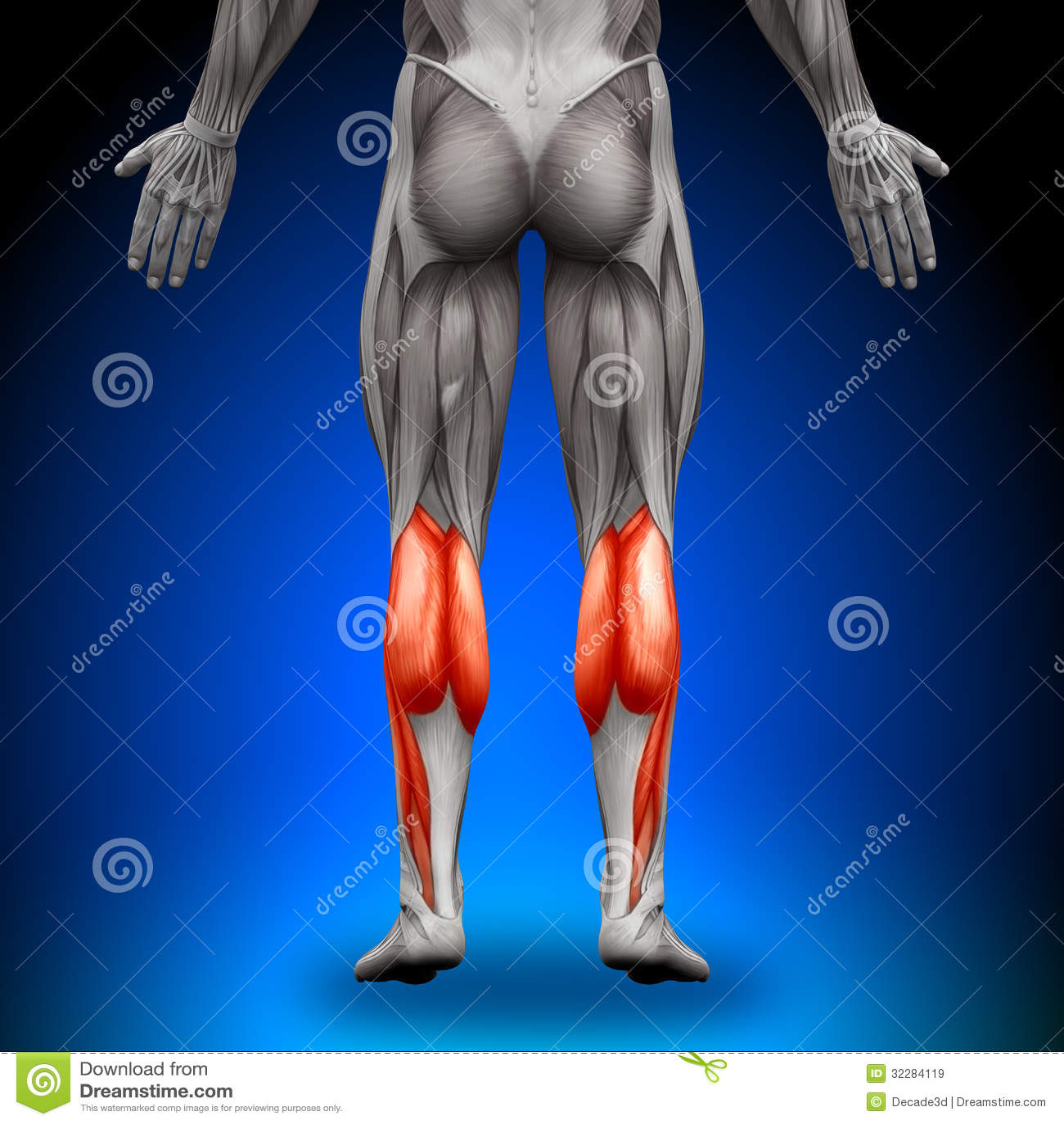 Kälber - Anatomie-Muskeln stock abbildung. Illustration von unterarm ...