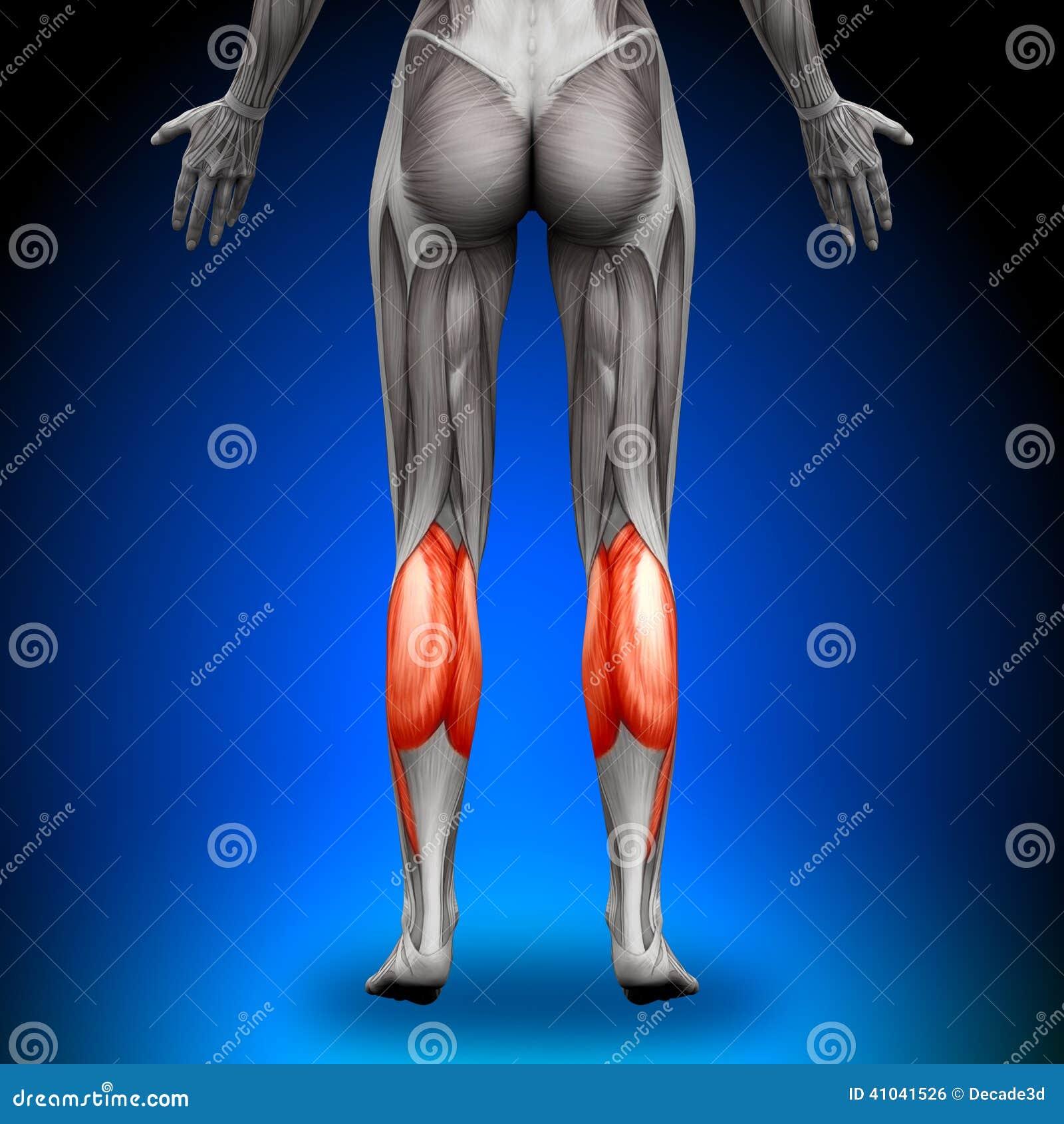 Kälber - Weibliche Anatomie-Muskeln Stock Abbildung - Illustration ...