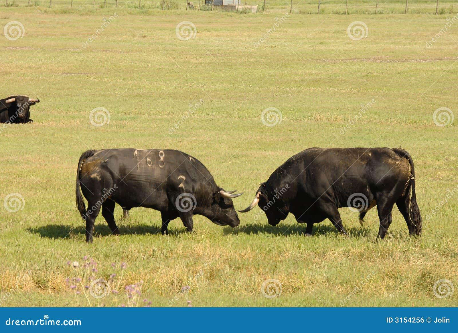 Kämpfen mit zwei schwarzes Stieren