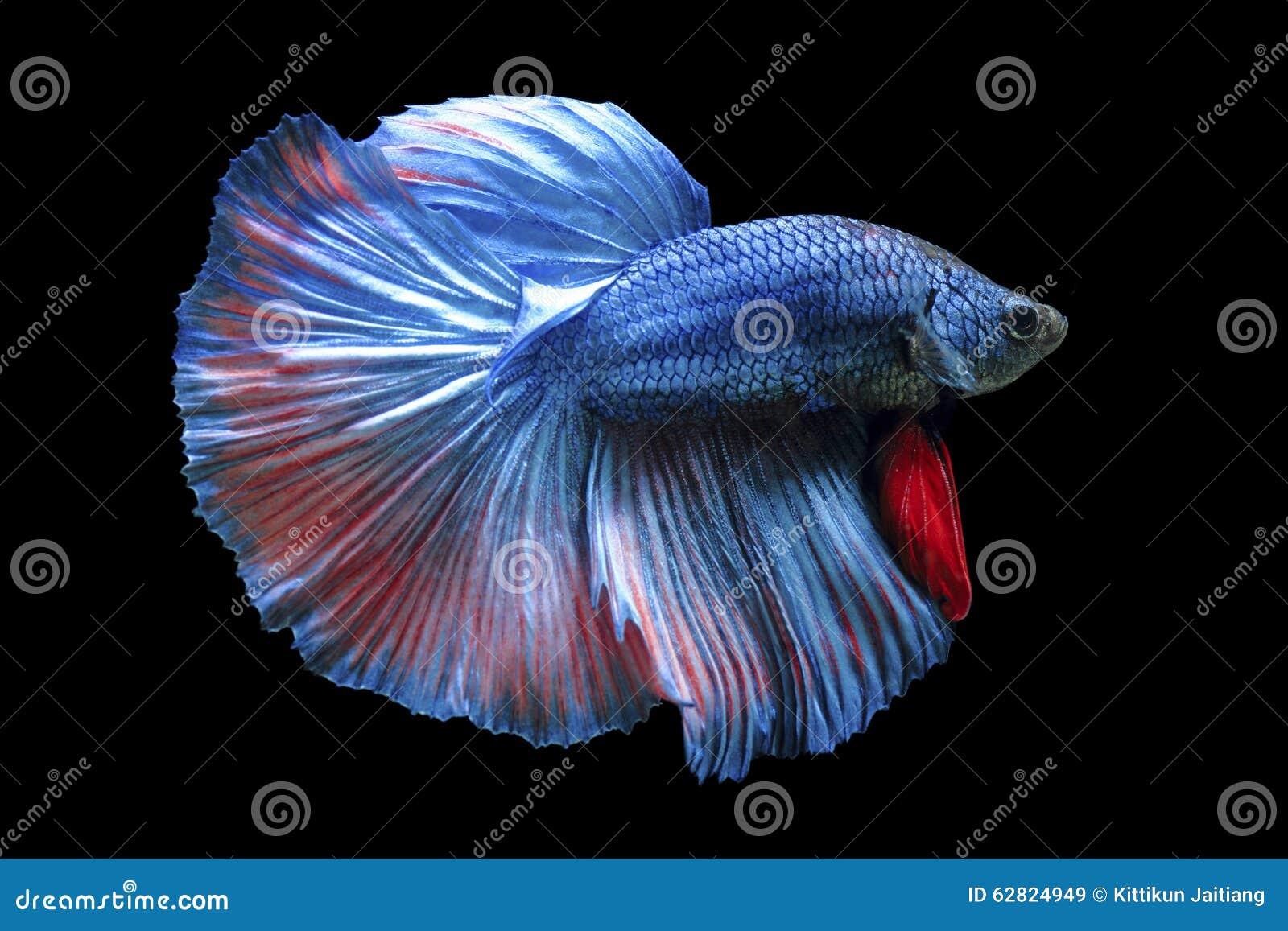 Kämpfende Fische