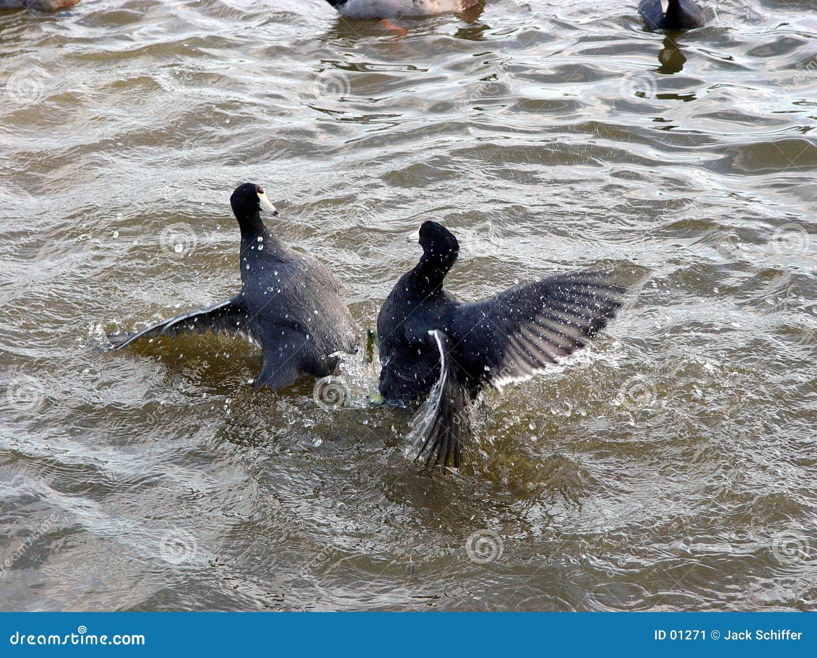 Kämpfende Vögel