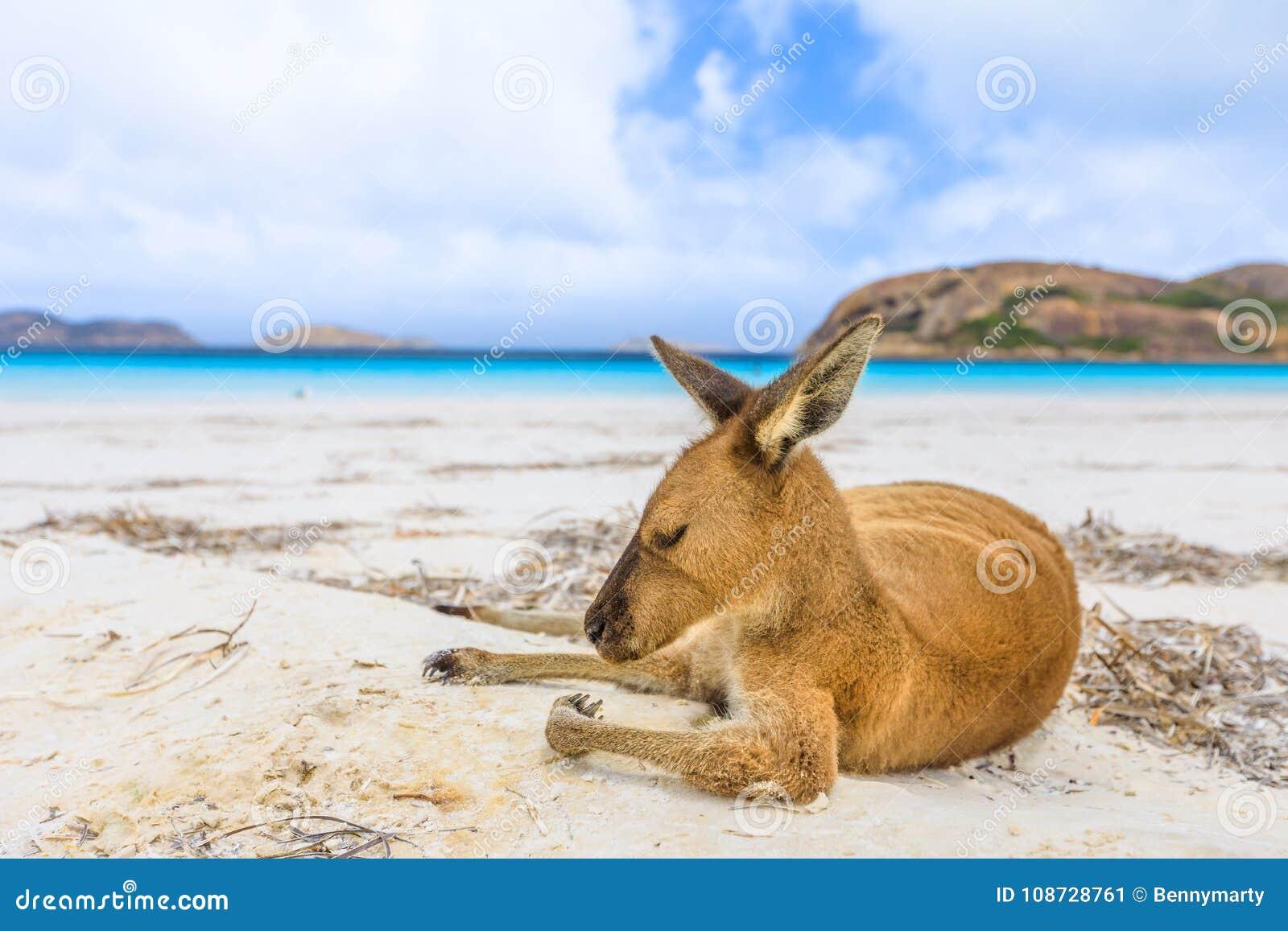 Känguru på vit sand