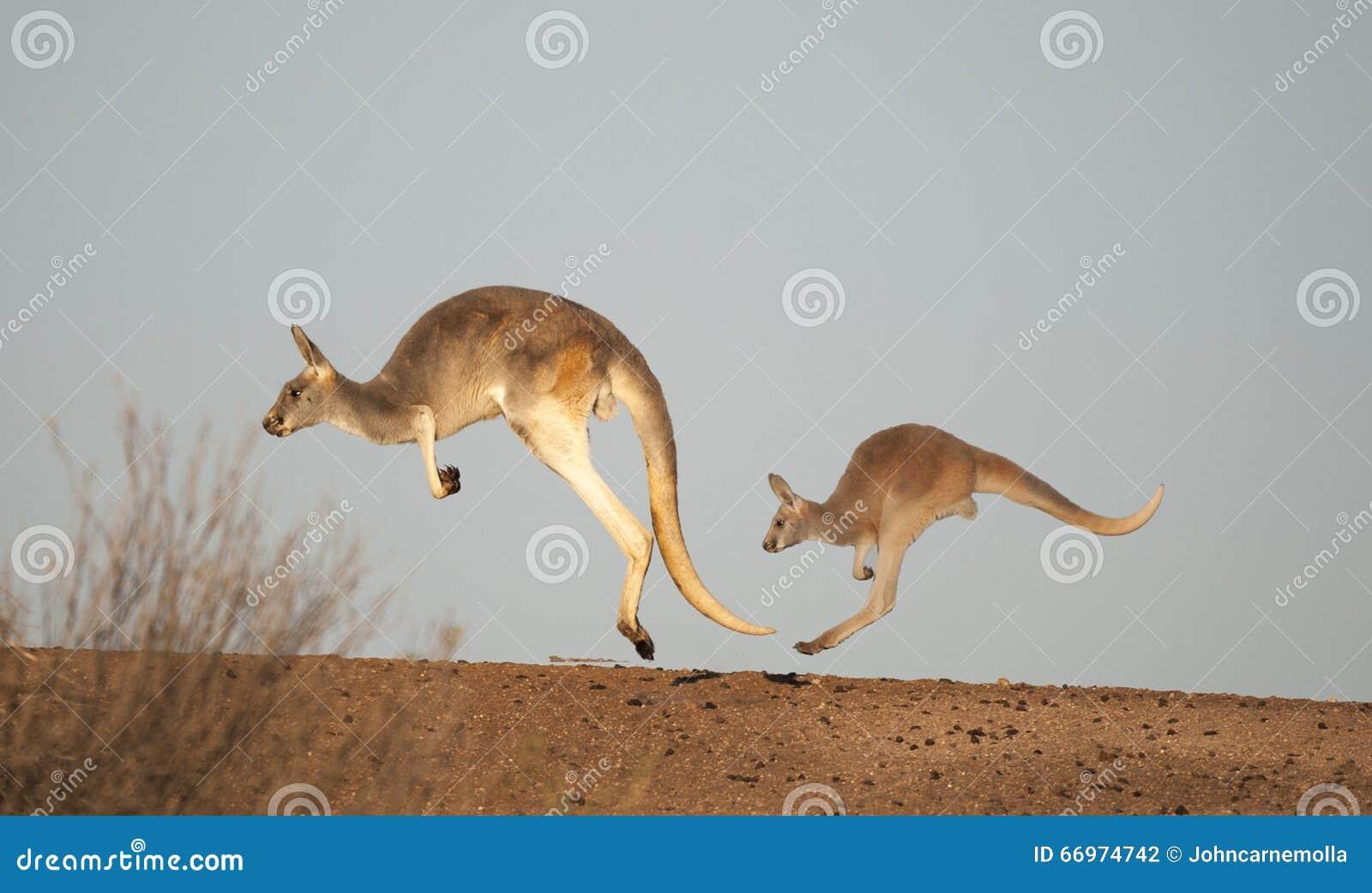 Kängurus in Nationalpark Sturt