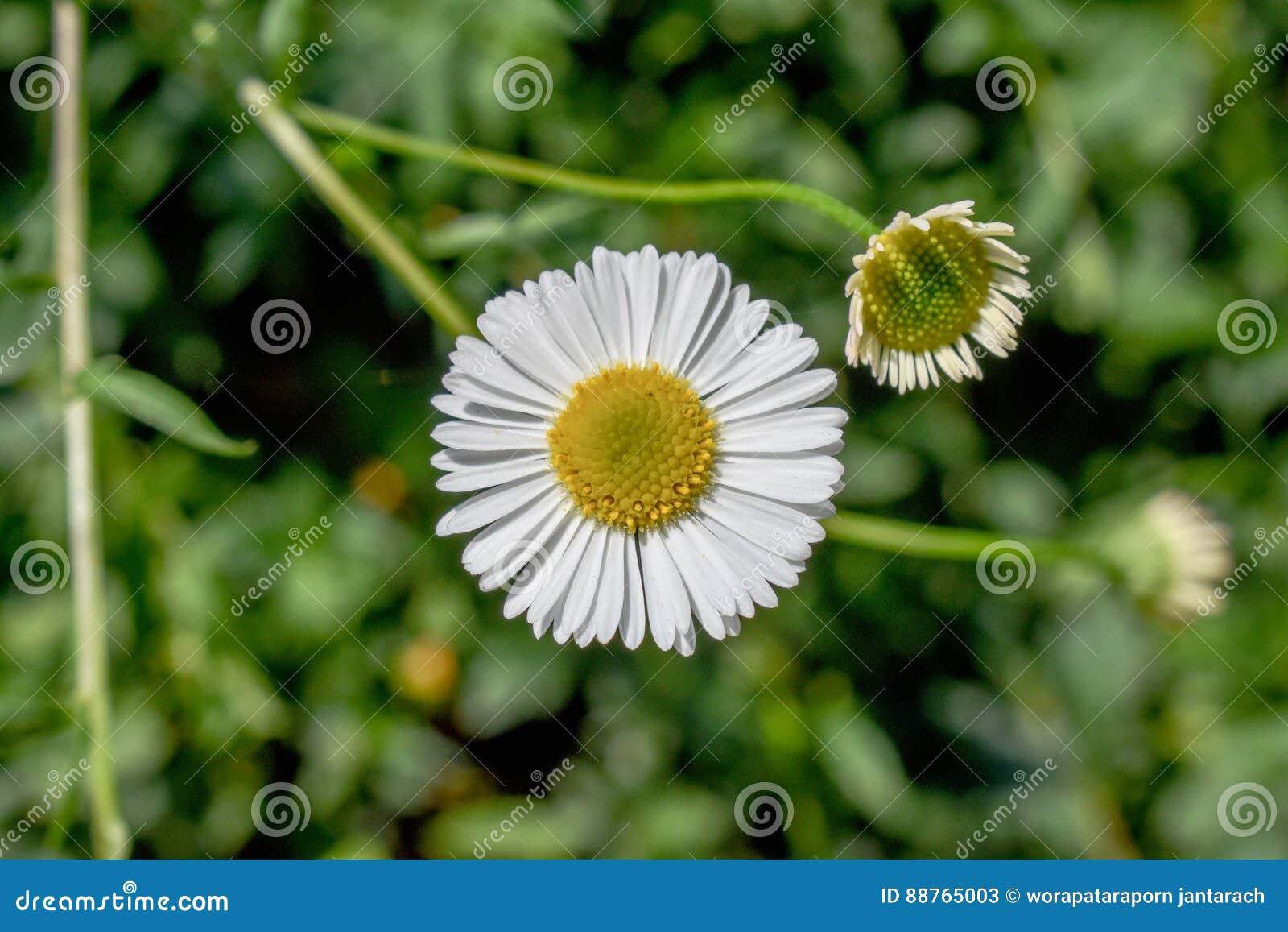 Kärnar ur den blomstra blomman för bakgrund solrosen