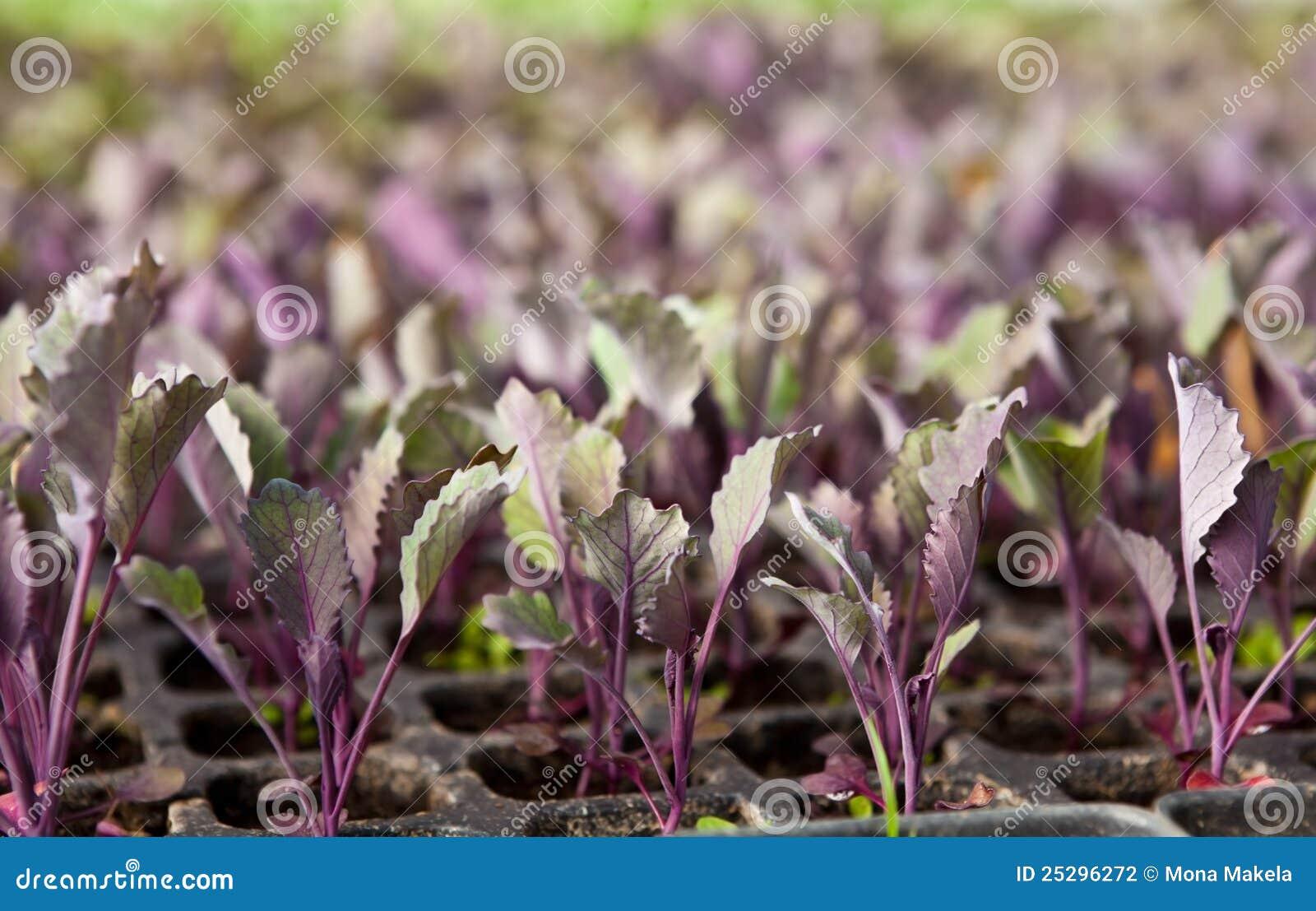Kålredplantor