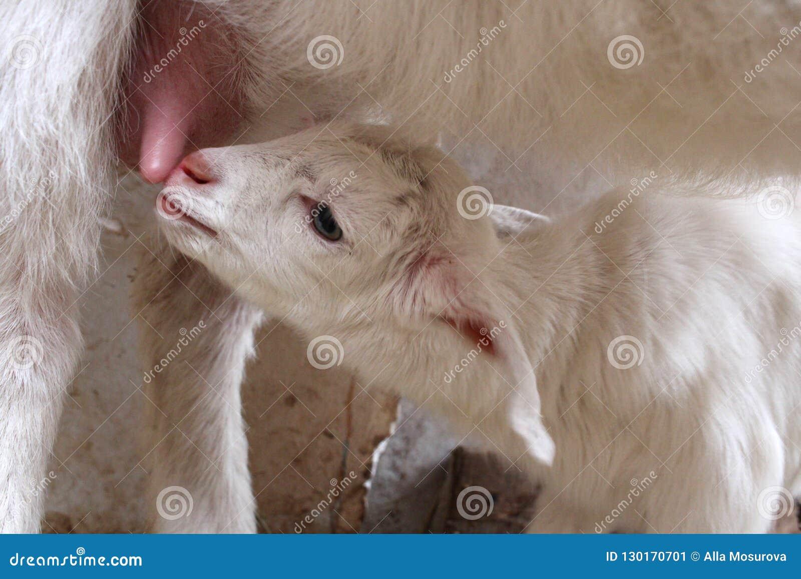 Kózka dzieciak i,/mleka kózki gospodarstwo rolne czułość udder dójki