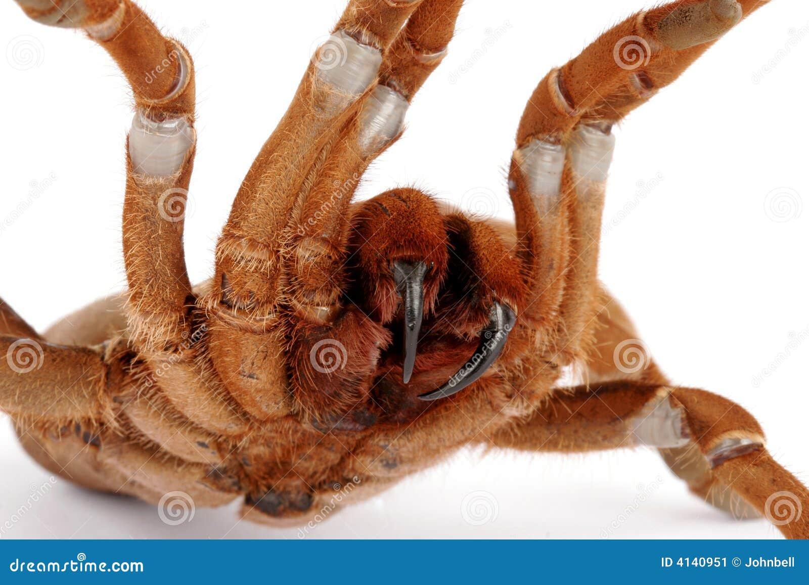 König Baboon Tarantula (Citharischius crawshayi)