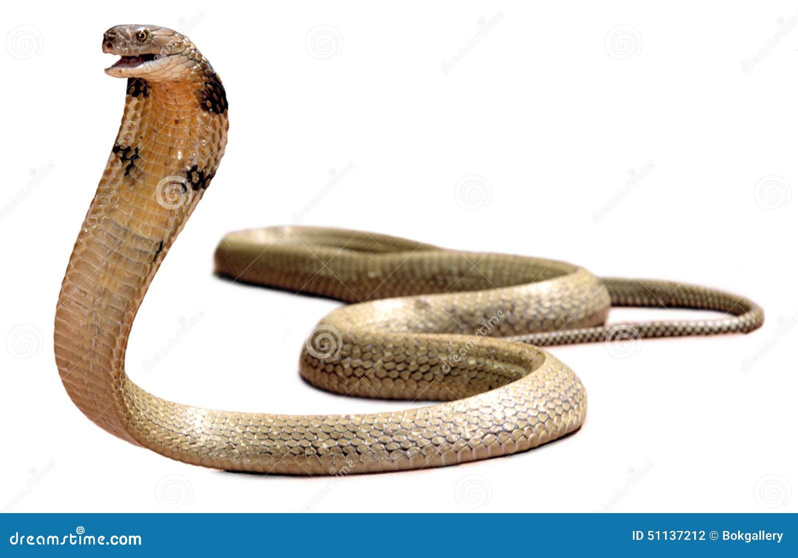 König Cobra