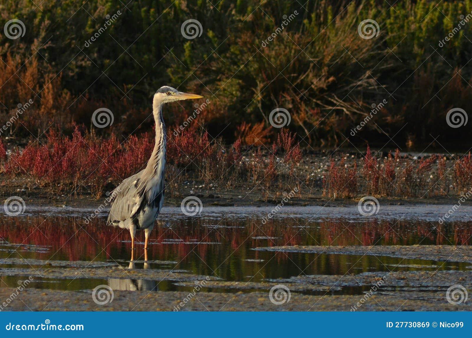 König des Sumpfes
