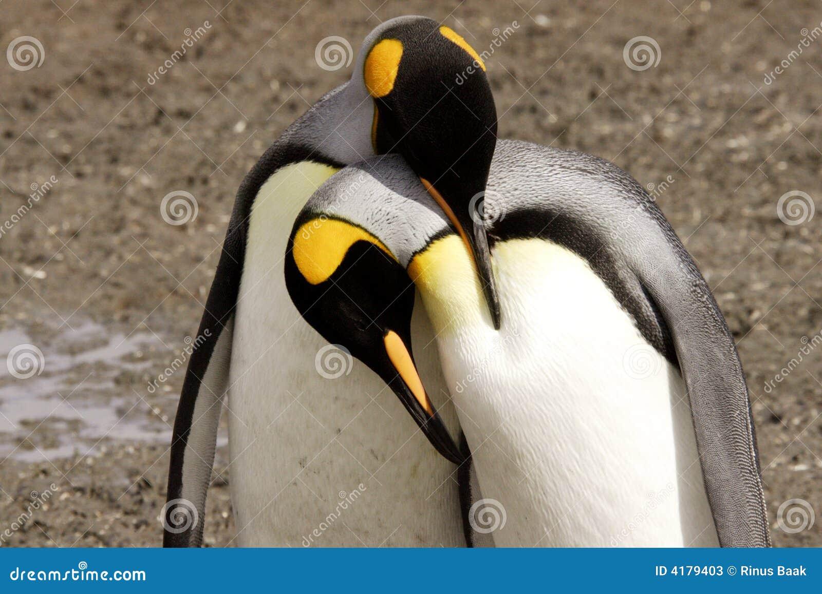 König Penguins Courting