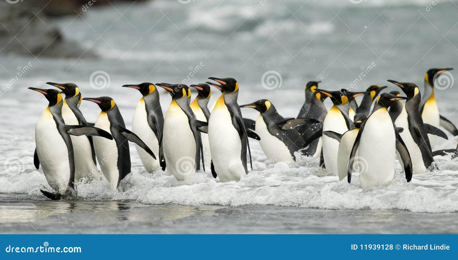 König Penguins in der Brandung
