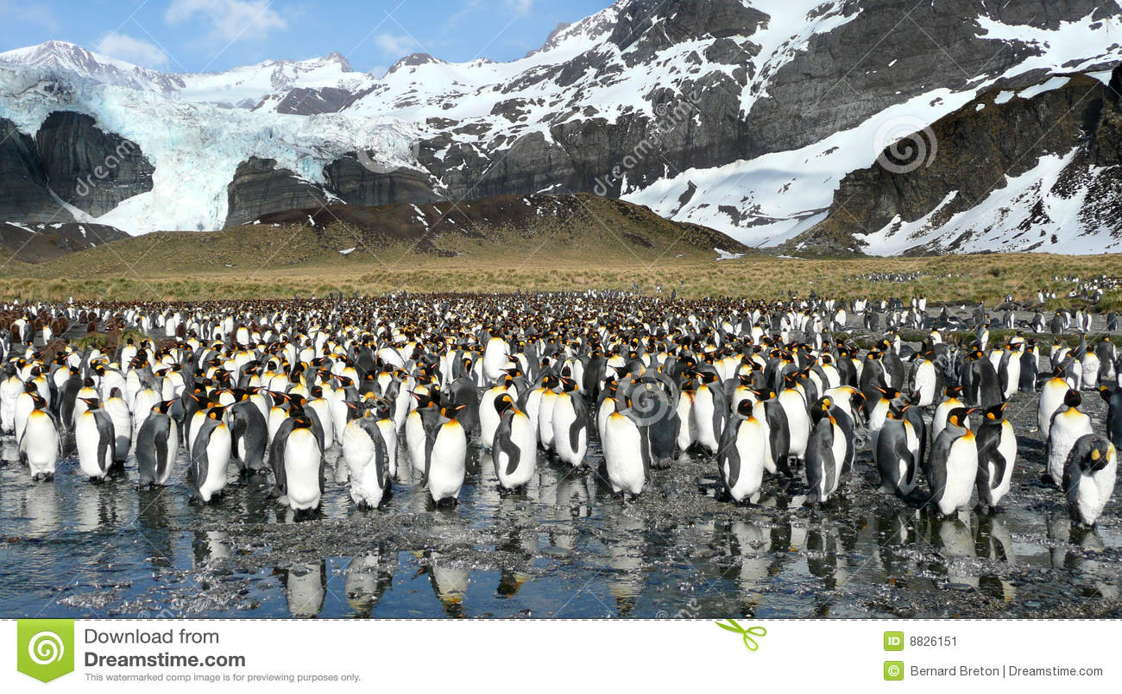 König-Pinguine