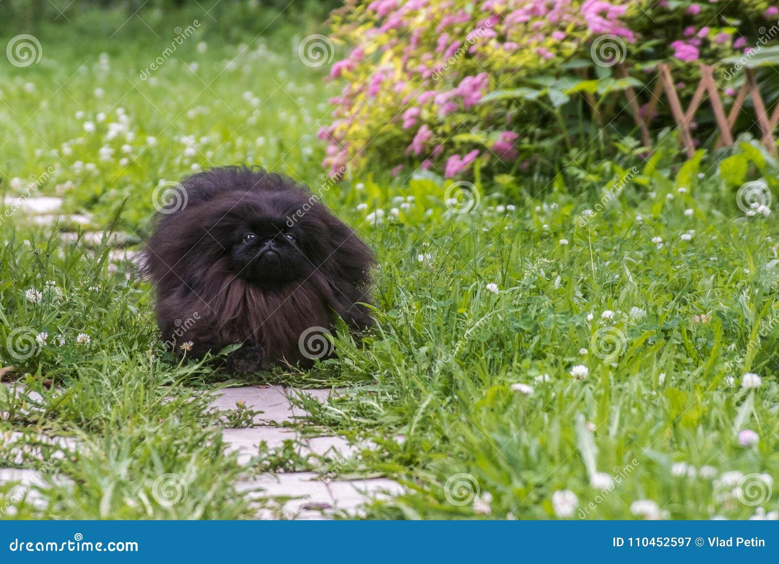 Kör den pekingese hunden för den gulliga svarta valpen på det gröna gräset