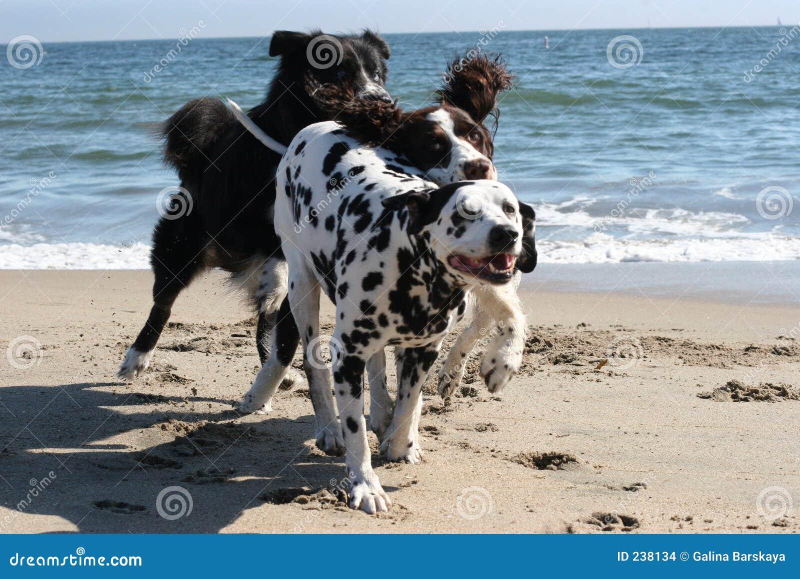 Köra för 3 hundar