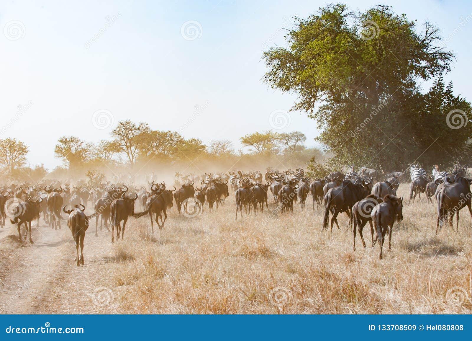 Körande gnu i dustcloud i savann av den Serengeti slätten, Tanzania