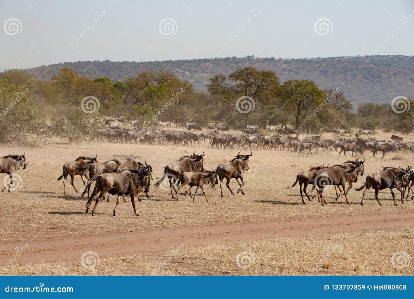 Körande gnu i savann av den Serengeti slätten, Tanzania