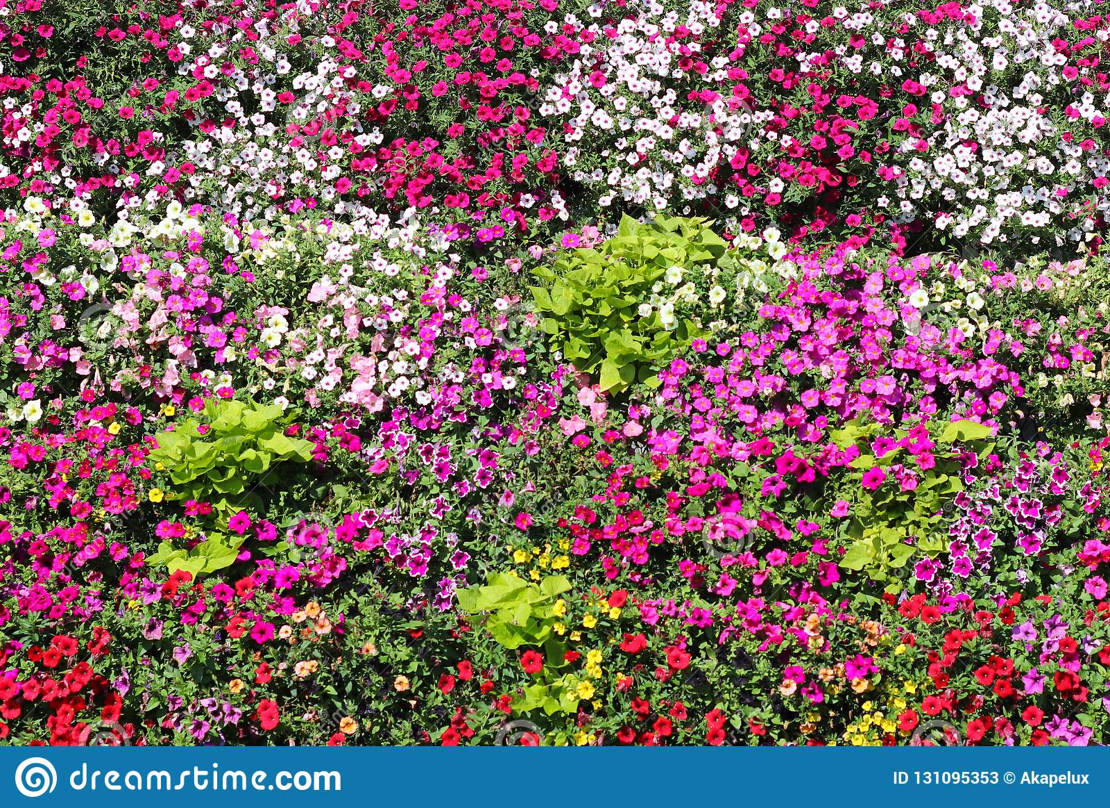 Körbe von hängenden Petunienblumen auf Balkon Petunienblume in der Zierpflanze Violette Balkonblumen in den Töpfen Hintergrund vo
