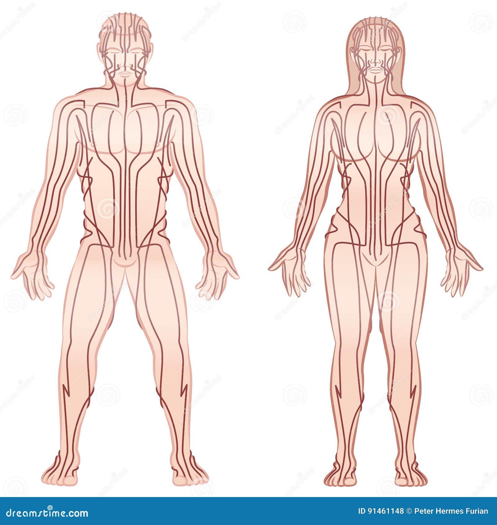 Körper-Meridian-Mann-Frauen-Paare Vektor Abbildung - Illustration ...