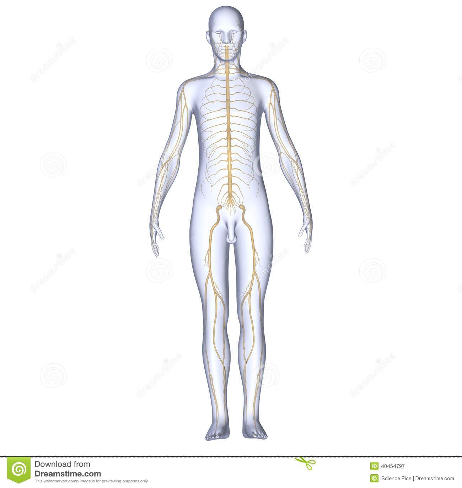Körper mit den Nerven stock abbildung. Illustration von richtung ...