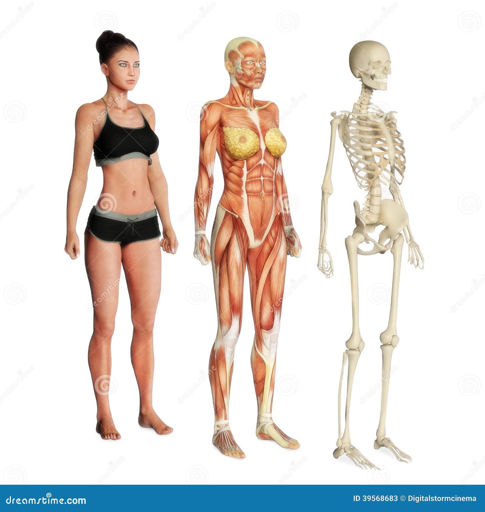 Körpersysteme stock abbildung. Illustration von frau - 39568683