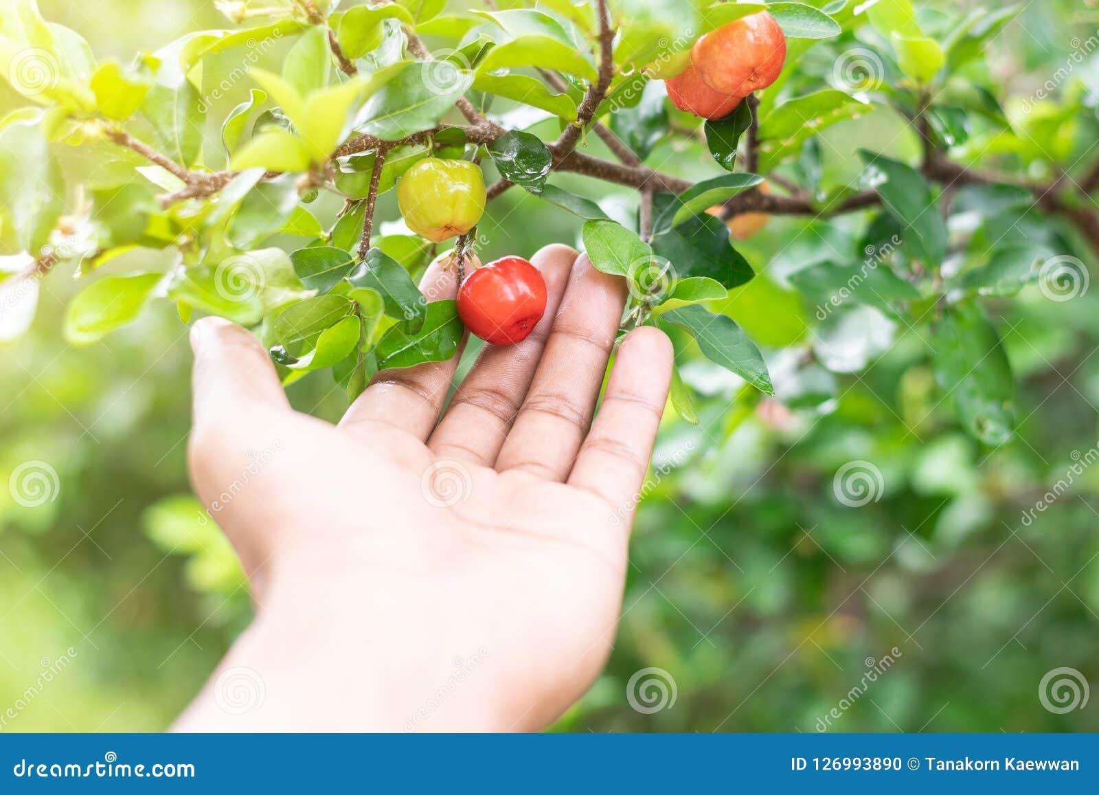 Körsbär för acerola för övre hand för slut thai hållande