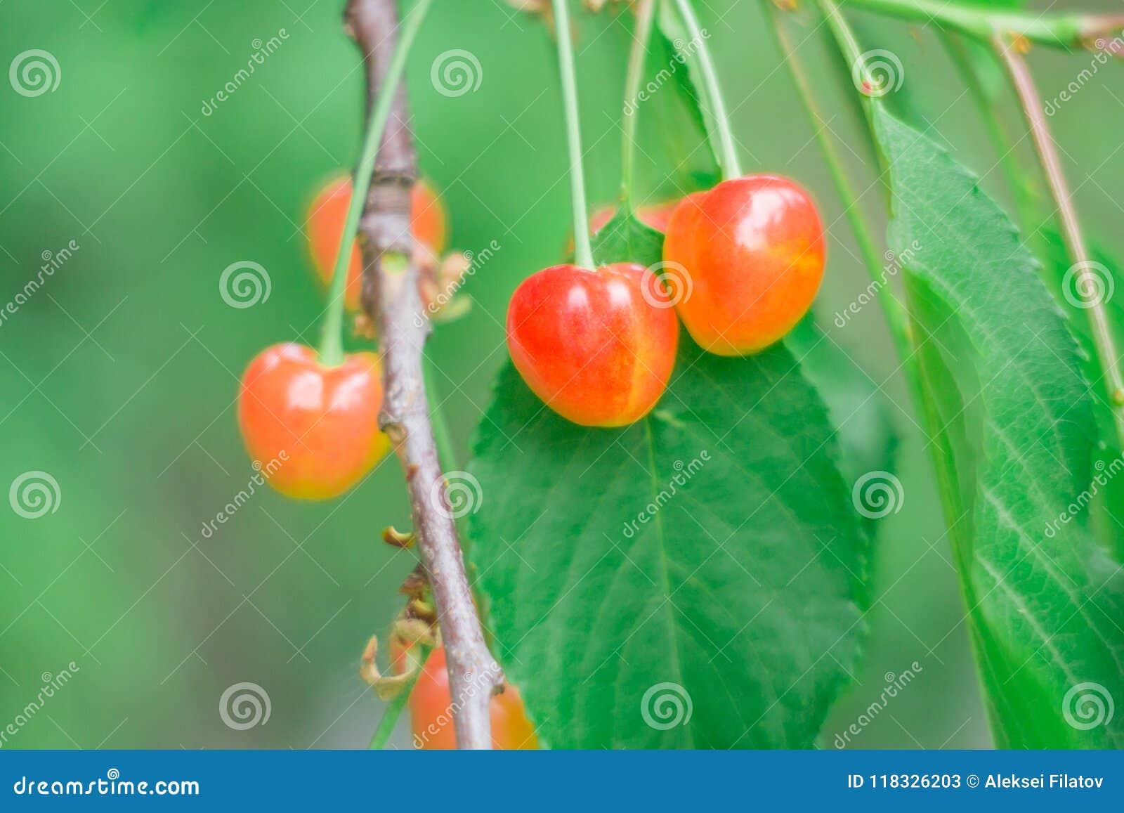 Körsbär i trädgården