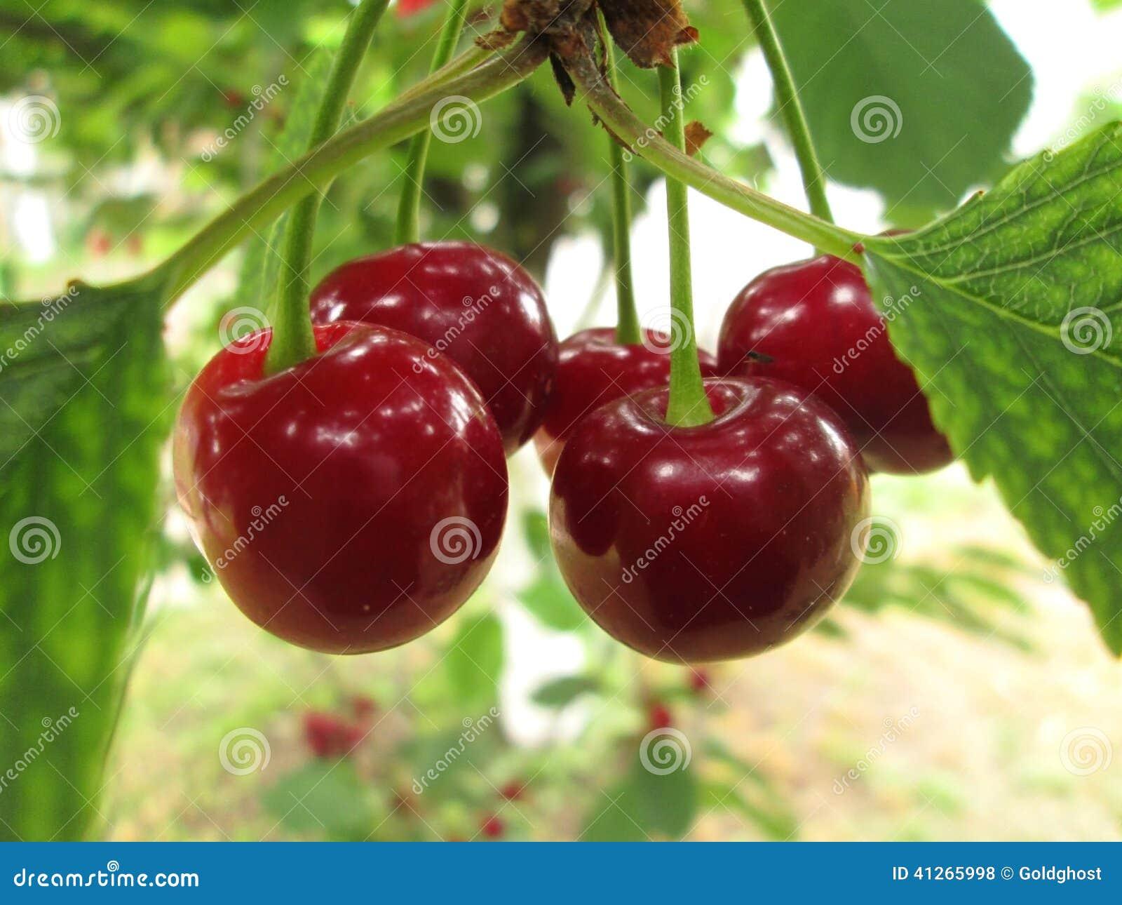 Körsbär på trädet