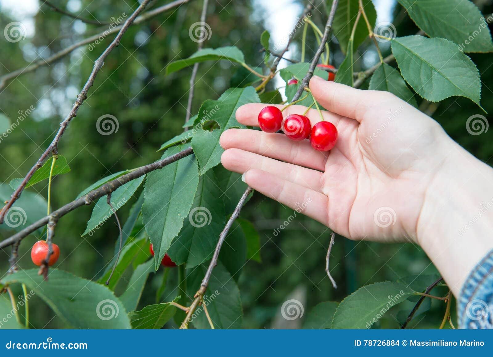Körsbär på trädet med handen